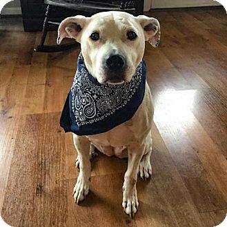 American Bulldog Mix Dog for adoption in Arlington, Virginia - Angel
