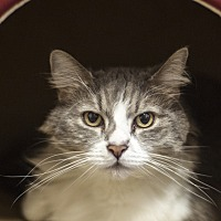 Adopt A Pet :: Curious Georgette - St Helena, CA