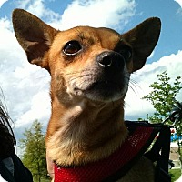 Chihuahua Dog for adoption in Ringoes, New Jersey - Justin