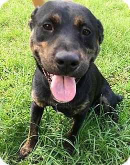 Hound (Unknown Type) Mix Dog for adoption in Sturbridge, Massachusetts - Duke