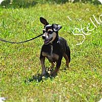 Adopt A Pet :: Stella - Lebanon, MO
