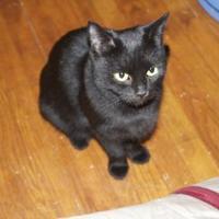 Adopt A Pet :: Button - Ellicott City, MD