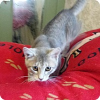 Domestic Shorthair Kitten for adoption in Akron, Ohio - Shawn