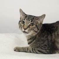 Adopt A Pet :: Pebbles - Elk Grove Village, IL