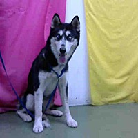Husky Mix Dog for adoption in San Bernardino, California - URGENT on 8/11@DEVORE San Bern