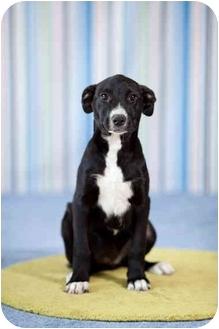 Border Collie/Labrador Retriever Mix Puppy for adoption in Portland, Oregon - Dumpling