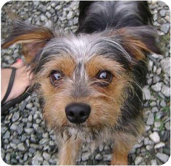 Yorkie, Yorkshire Terrier Mix Dog for adoption in Greensboro, North Carolina - Benji