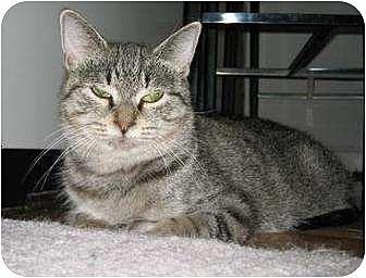 Domestic Mediumhair Cat for adoption in New York, New York - Millain