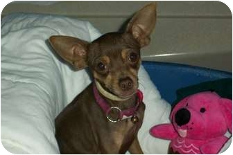 Chihuahua Dog for adoption in McIntosh, New Mexico - Honey
