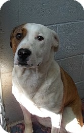 Australian Cattle Dog/Border Collie Mix Dog for adoption in Silver City, New Mexico - Patch