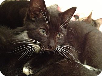 Domestic Shorthair Kitten for adoption in East Hanover, New Jersey - Ford and Lincoln