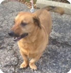 Dachshund/Basset Hound Mix Dog for adoption in Kalamazoo, Michigan - Scooter