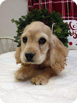 Cocker Spaniel Puppy for adoption in Auburn, California - Barnie