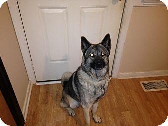 Norwegian Elkhound Mix Dog for adoption in richmond, Virginia - Koda (courtesy post)