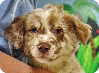 Australian Shepherd Mix Puppy for adoption in Searcy, Arkansas - Chance