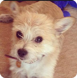 Cairn Terrier/Jack Russell Terrier Mix Dog for adoption in Miami, Florida - Niko