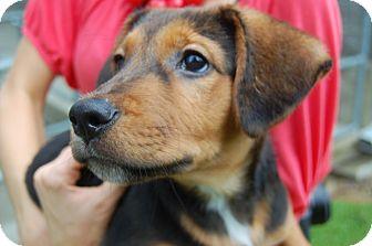 Hound (Unknown Type) Mix Puppy for adoption in Pinehurst, North Carolina - Tywin