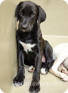 Labrador Retriever Mix Puppy for adoption in Monroe, Georgia - HUTCH