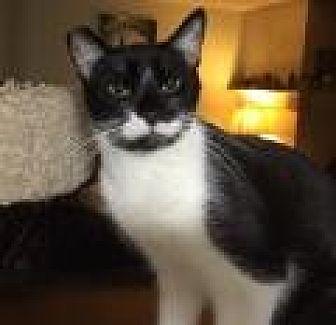 Domestic Shorthair Cat for adoption in Mission Viejo, California - Harpo Marx