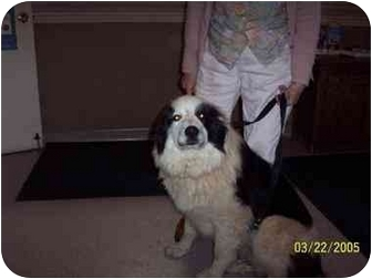 Border Collie/Great Pyrenees Mix Dog for adoption in Orem, Utah - Chewy