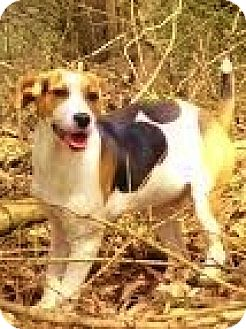 Treeing Walker Coonhound/Fox Terrier (Smooth) Mix Dog for adoption in Snohomish, Washington - Clover, cute &cool hound babe!
