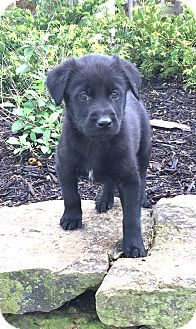Labrador Retriever Mix Puppy for adoption in Hagerstown, Maryland - Forest