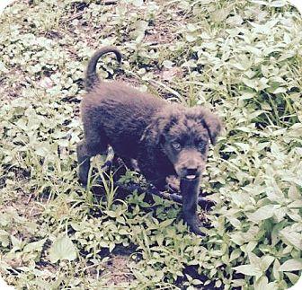 Newfoundland Mix Puppy for adoption in HAGGERSTOWN, Maryland - OSCAR