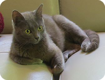 Domestic Shorthair Cat for adoption in Coldspring, Texas - Amber