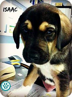Beagle/Husky Mix Puppy for adoption in Kimberton, Pennsylvania - Isaac