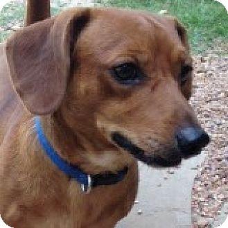 Dachshund Dog for adoption in Houston, Texas - Barney Bigbend