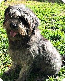 Terrier (Unknown Type, Medium)/Wheaten Terrier Mix Dog for adoption in McKinney, Texas - Winston