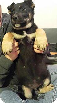 Rottweiler/Shepherd (Unknown Type) Mix Puppy for adoption in Warsaw, Indiana - Hulk