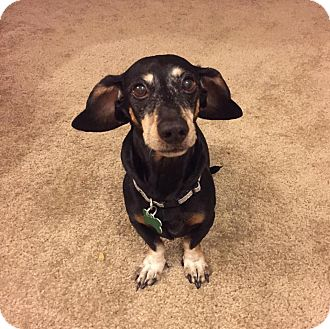 Dachshund Dog for adoption in Henderson, Nevada - Inky