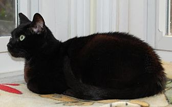 Domestic Shorthair Cat for adoption in Fullerton, California - Francheska