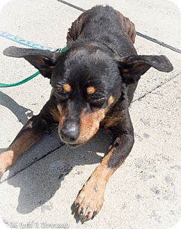 Manchester Terrier Mix Dog for adoption in Loudonville, New York - Rambo