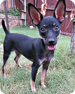 Rat Terrier/Chihuahua Mix Puppy for adoption in McKinney, Texas - Simone