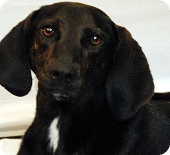 Plott Hound Mix Dog for adoption in Newland, North Carolina - Benji *Trained