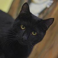 Domestic Shorthair Cat for adoption in Ocala, Florida - EUCLID