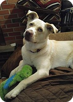 Labrador Retriever/Siberian Husky Mix Dog for adoption in West Allis, Wisconsin - Princess-PENDING
