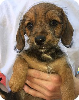 Chihuahua/Dachshund Mix Puppy for adoption in SOUTHINGTON, Connecticut - Easton