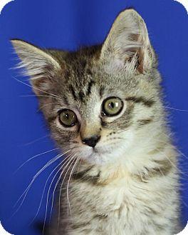 Domestic Shorthair Kitten for adoption in Winston-Salem, North Carolina - Mia