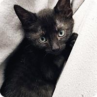 Adopt A Pet :: Billie - New York, NY