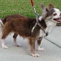 Adopt A Pet :: Little Man - Orlando, FL