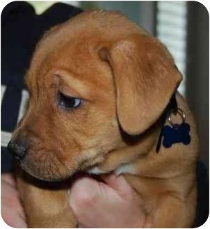 Labrador Retriever/Australian Cattle Dog Mix Puppy for adoption in Las Vegas, Nevada - Tank