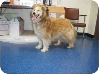 """Collie/Shepherd (Unknown Type) Mix Dog for adoption in MARION, Virginia - """"Kayce"""""""