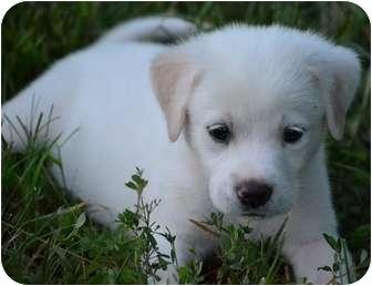 Labrador Retriever Mix Puppy for adoption in Staunton, Virginia - Nanuk