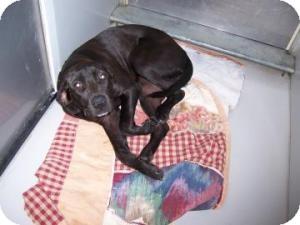 Labrador Retriever Mix Dog for adoption in Olathe, Kansas - Penelope