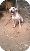 Labrador Retriever Mix Dog for adoption in Windham, New Hampshire - Nellie ($50 off)