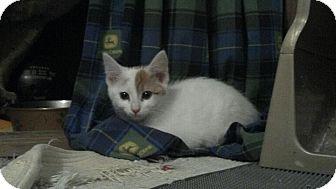 Domestic Mediumhair Kitten for adoption in Sterling Hgts, Michigan - Milk Dud