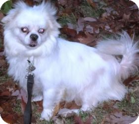 Pekingese Mix Dog for adoption in East Hartford, Connecticut - Esky in Ct